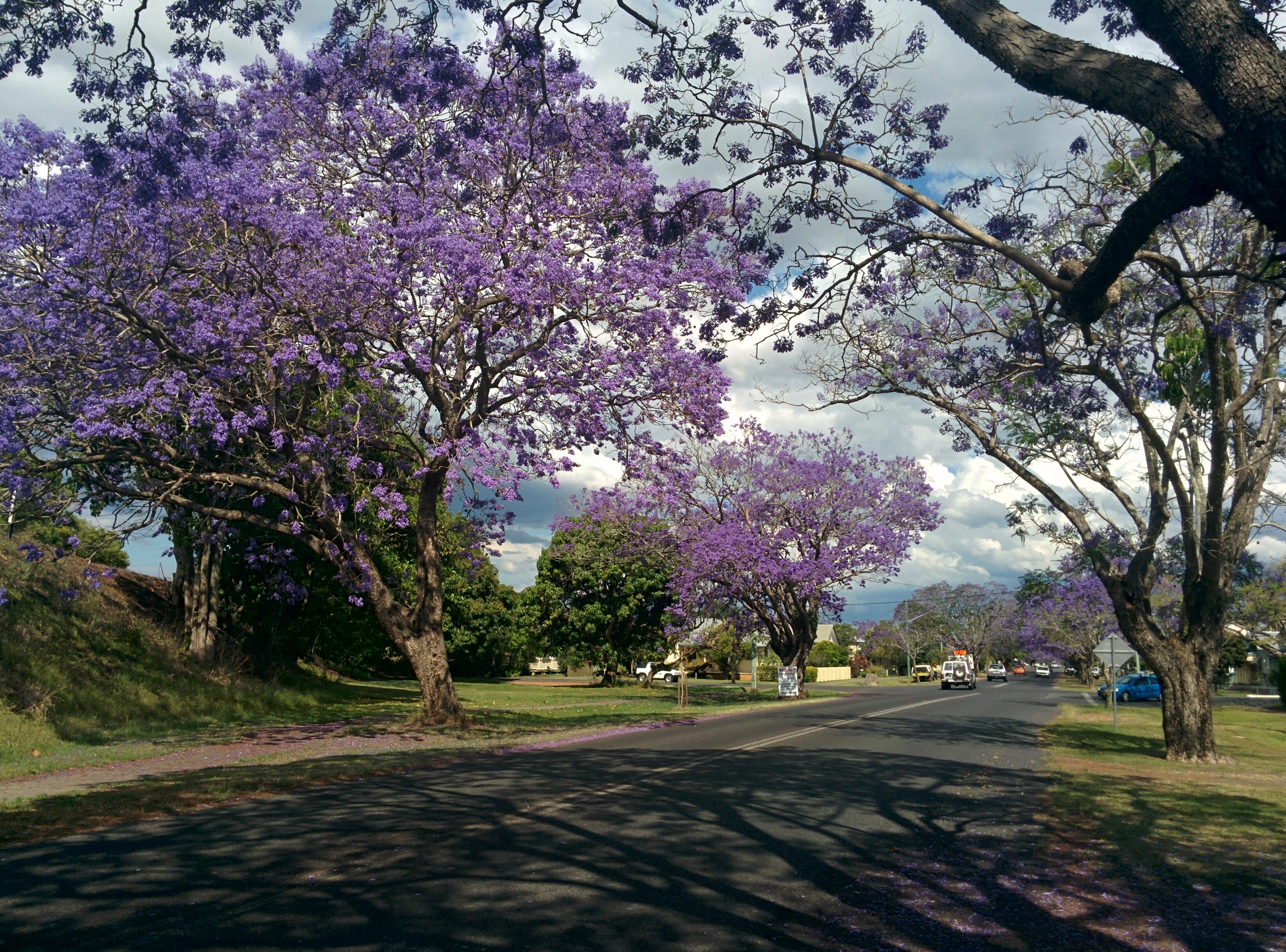 De Jacaranda bomen